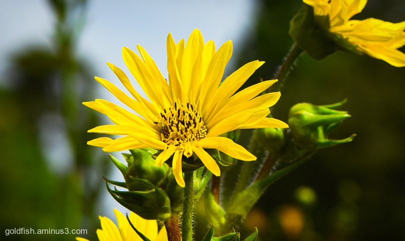 Helianthus Maximilianii - Maximilian Sunflower