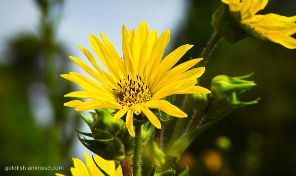 Helianthus Maximilianii - Maximilian Sunflower