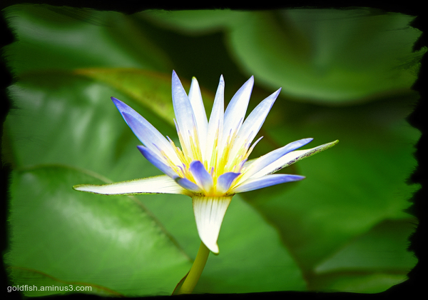 Nymphaea Caerulea - Egyptian Lotus