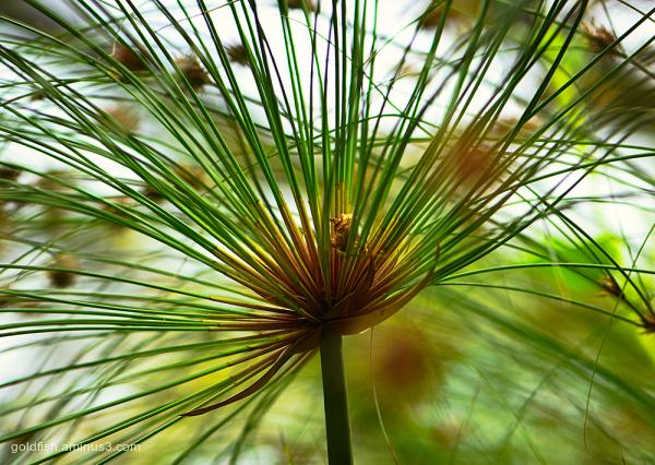 Cyperus Papyrus - Nile Grass