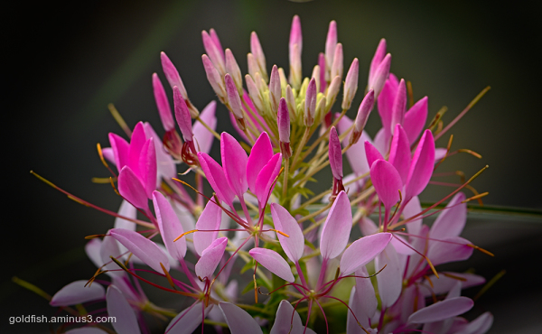 Cleome hassleriana 'Rose Queen' - Spider Flower