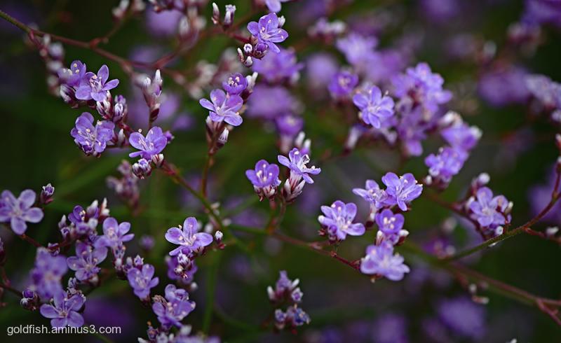 Limonium Latifolium - Sea Lavender