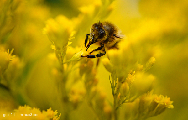Solidago and the Honey Bee