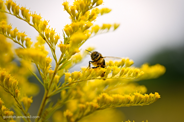 Solidago and the Honey Bee ii