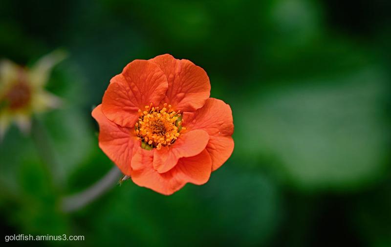 Geum 'Werner Arends' - Dwarf Orange Geum