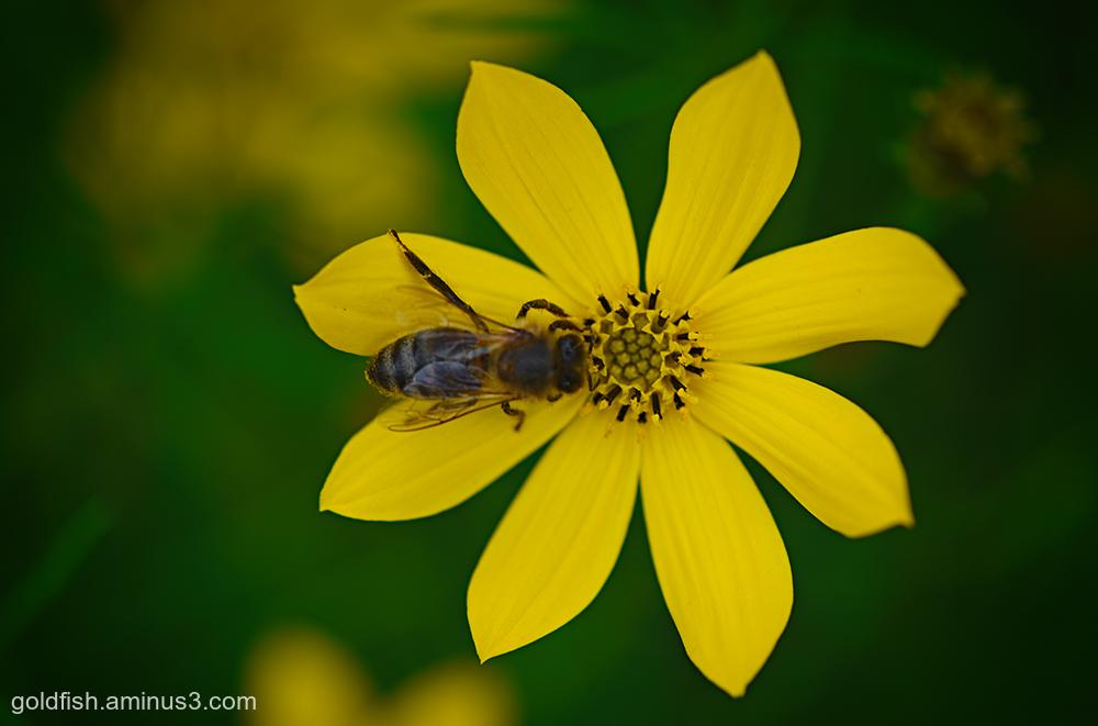 Coreopsis Verticillata 'Grandiflora' and the Bee