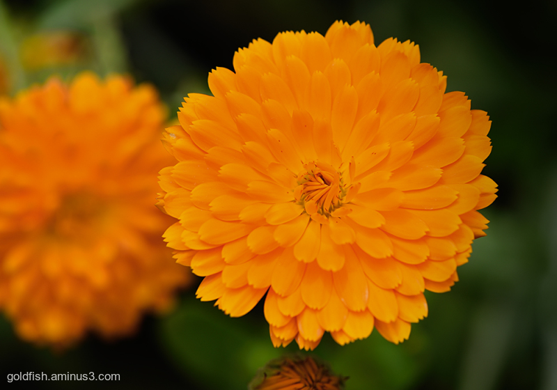 Tagetes - Marigold