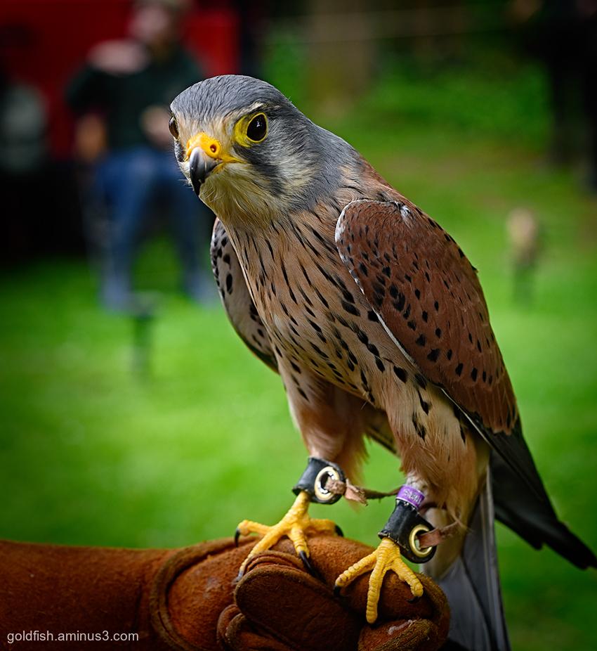 European Kestrel - Falco Tinnunculus