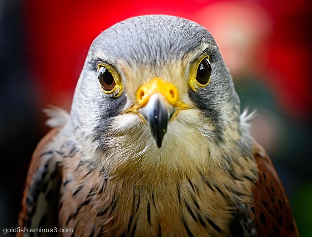 European Kestrel - Falco Tinnunculus ii
