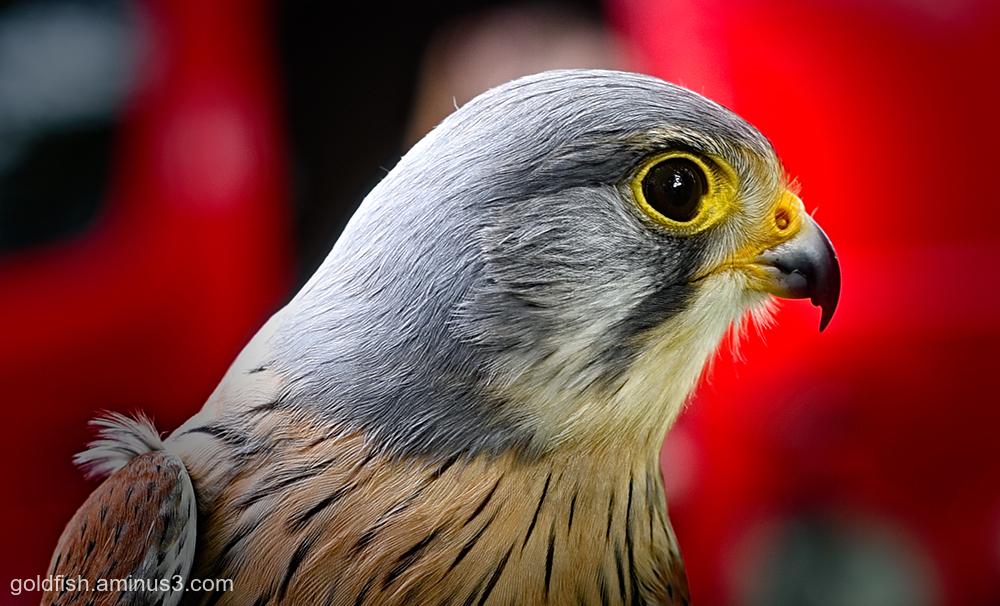 European Kestrel - Falco Tinnunculus iii
