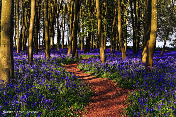 Bluebell Carpet ii
