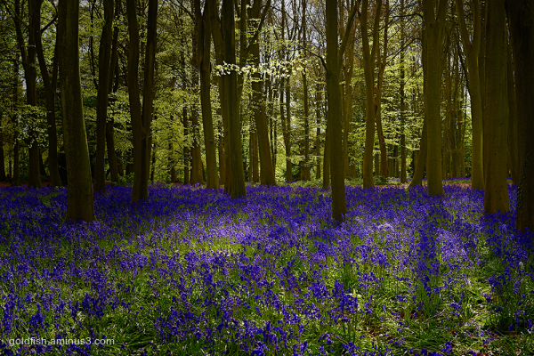 Bluebell Carpet iii