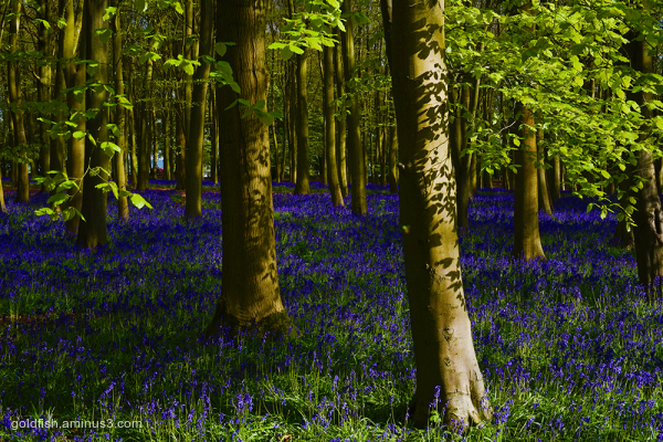 Bluebell Carpet iv