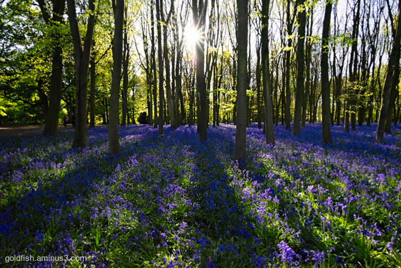 Bluebell Carpet v