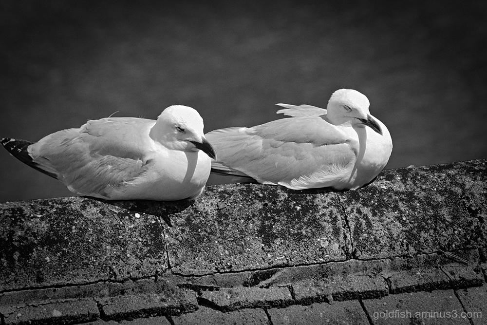 Seagull Siesta