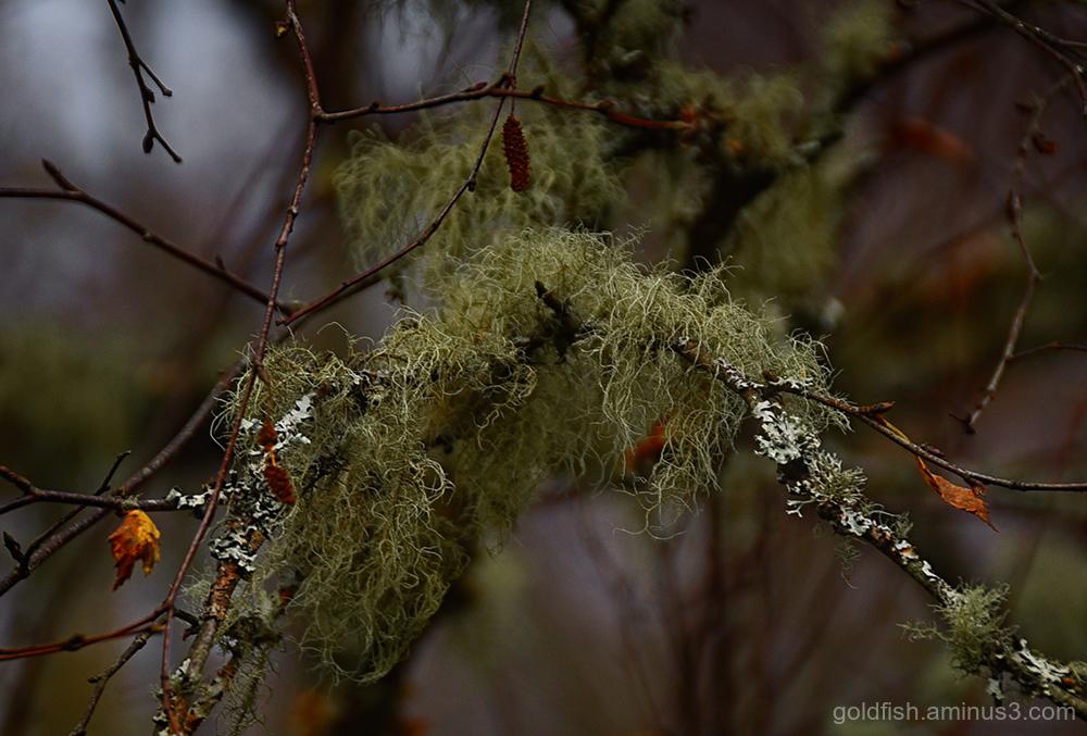 Old Man's Beard - Lichen