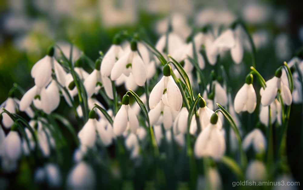 Galanthus - Snowdrop ii