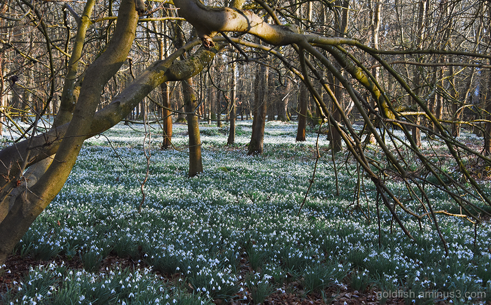 Snowdrop Carpet ii