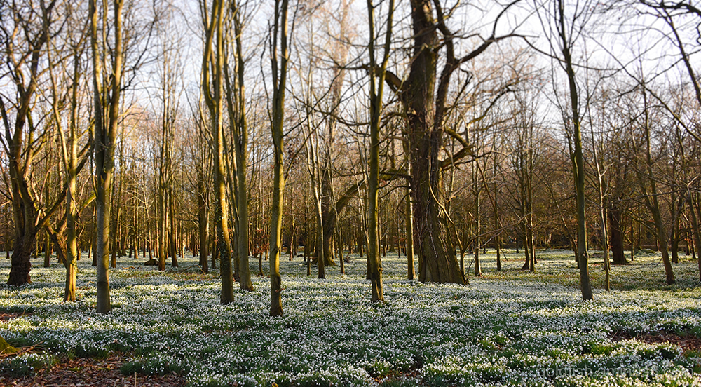 Snowdrop Carpet iii
