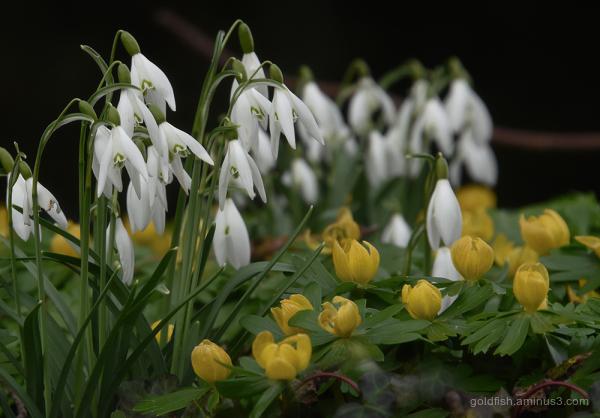 Snowdrops & Aconites