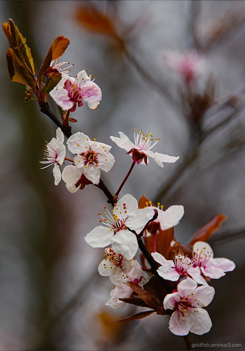 Blenheim Blossom