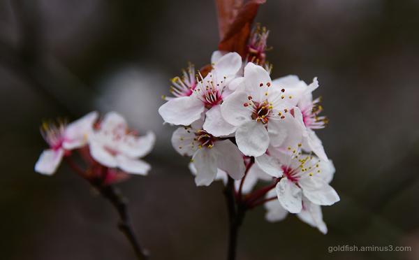 Blenheim Blossom ii