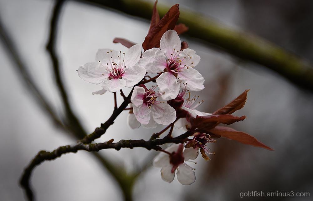 Blenheim Blossom iii