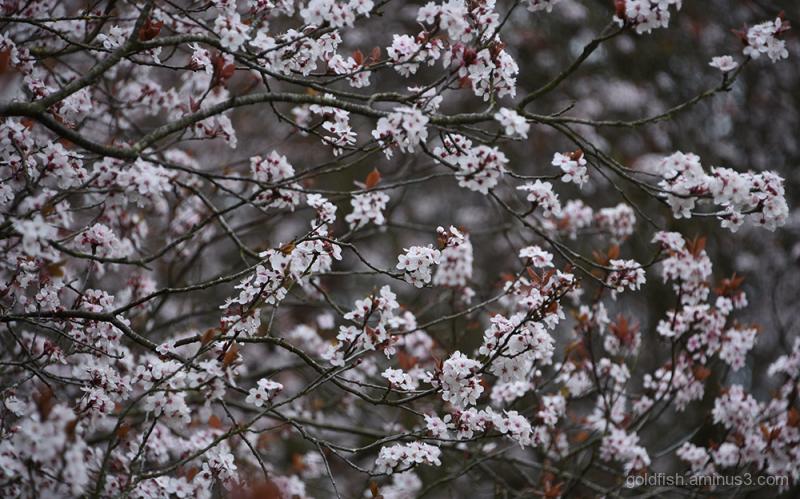 Blenheim Blossom iv