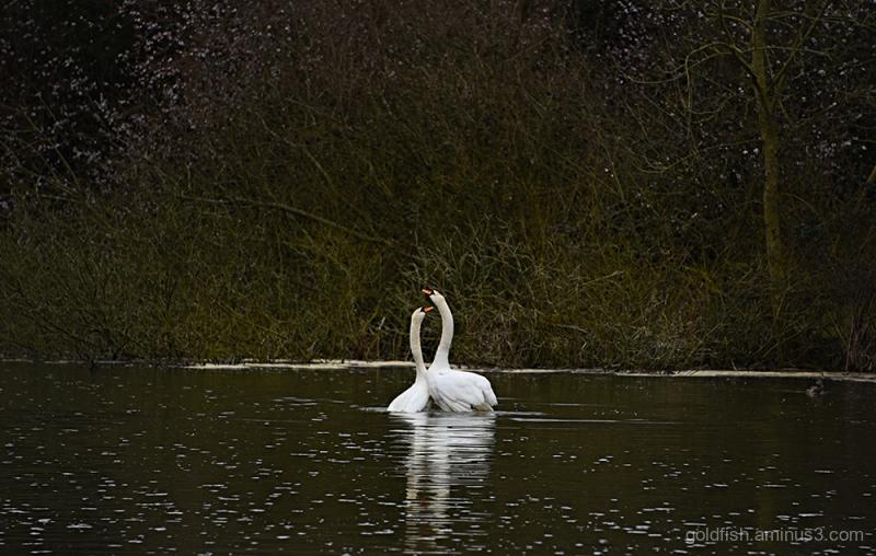 Swan Lake - Pas De Deux