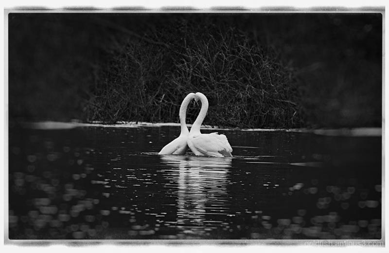 Swan Lake - Pas De Deux ii