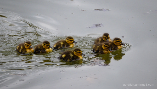 Seven Little Ducks Went Swimming One Day!!
