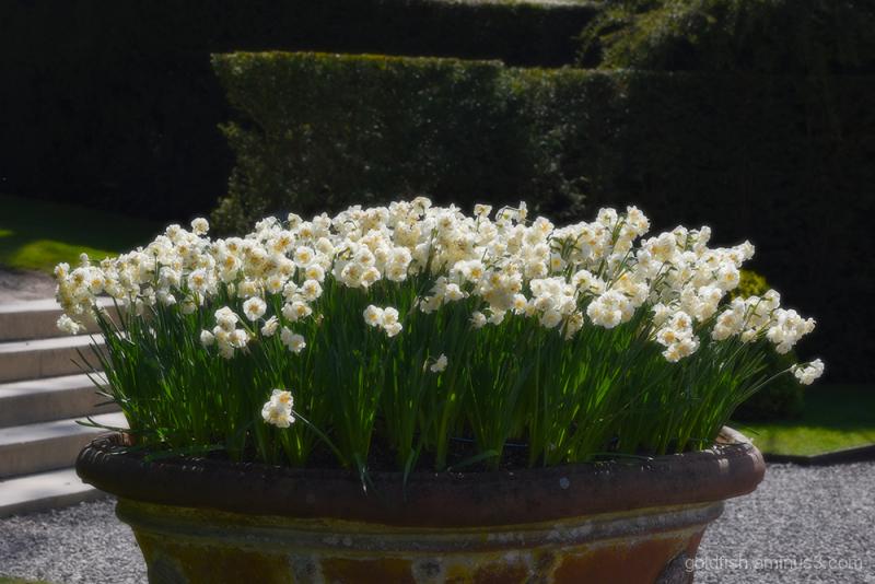 Daffodil Planter