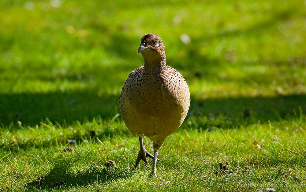 Mrs Pheasant