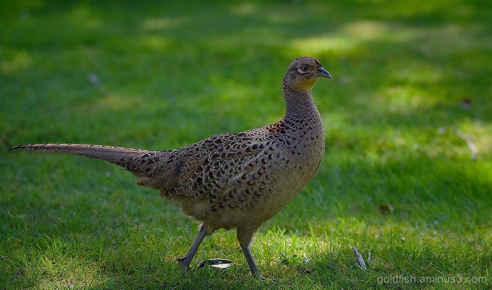 Mrs Pheasant ii