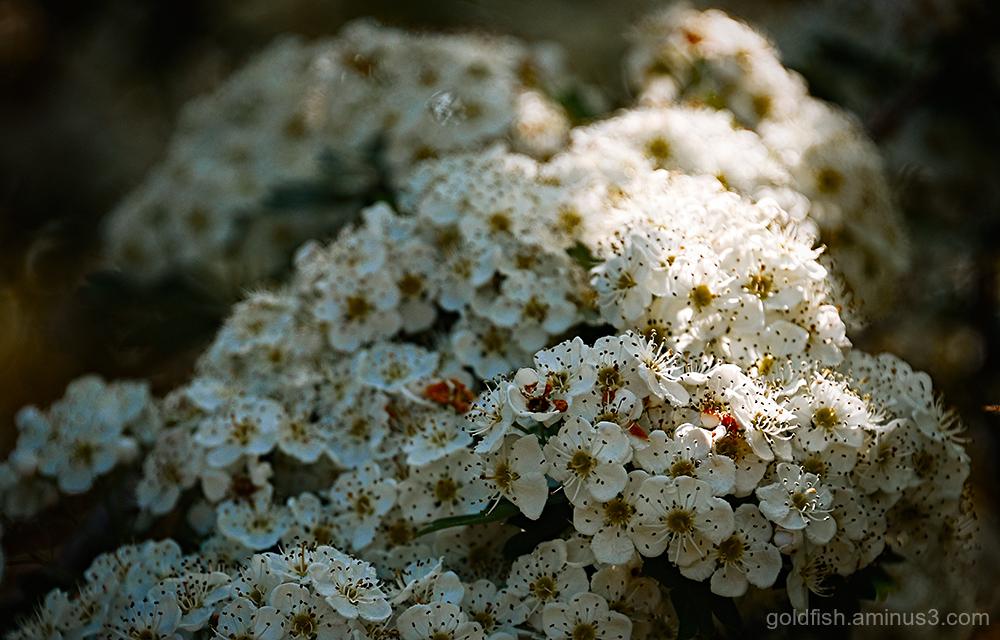 Hawthorn - Crataegus Monogyna Blossom