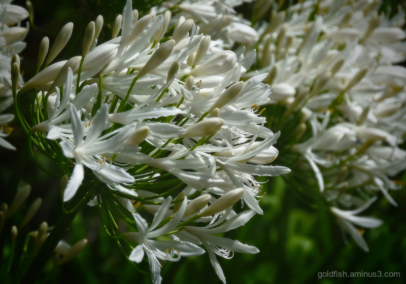 Lily of the Nile - Agapanthus ii