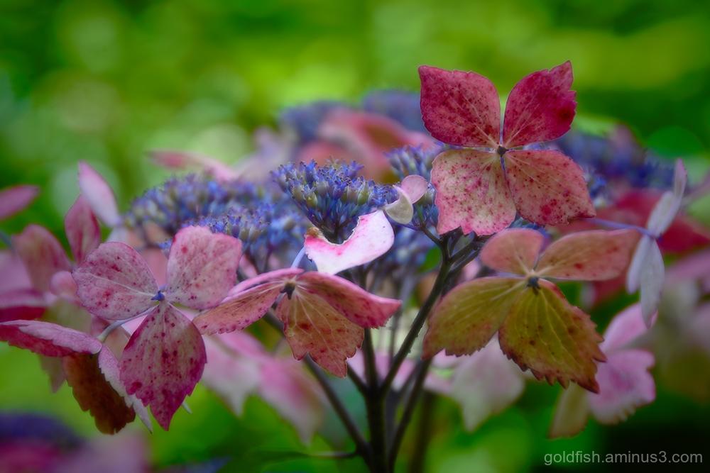Hydrangea Macrophylla - Lacecap ii
