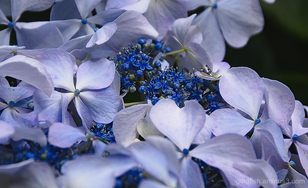 Hydrangea Macrophylla - Lacecap iii