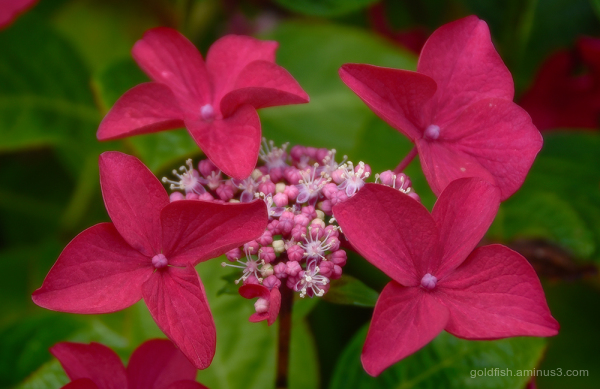 Hydrangea Macrophylla - Lacecap iv