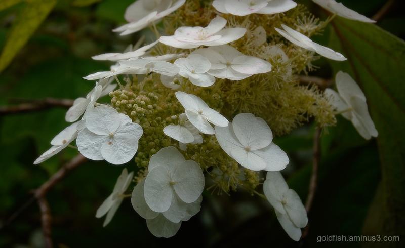 Hydrangea Macrophylla - Lacecap v