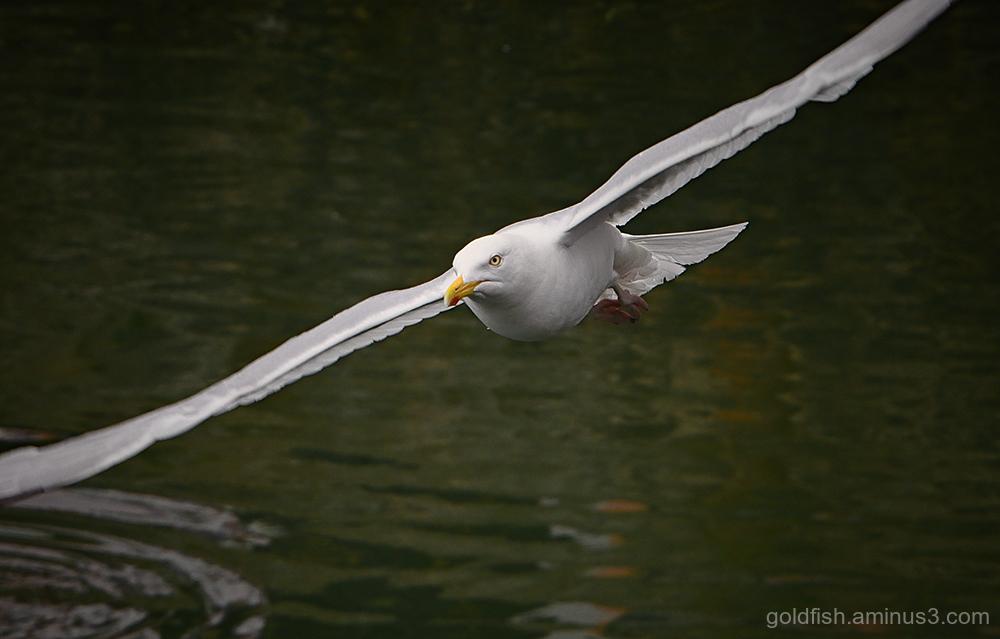 Gull ii