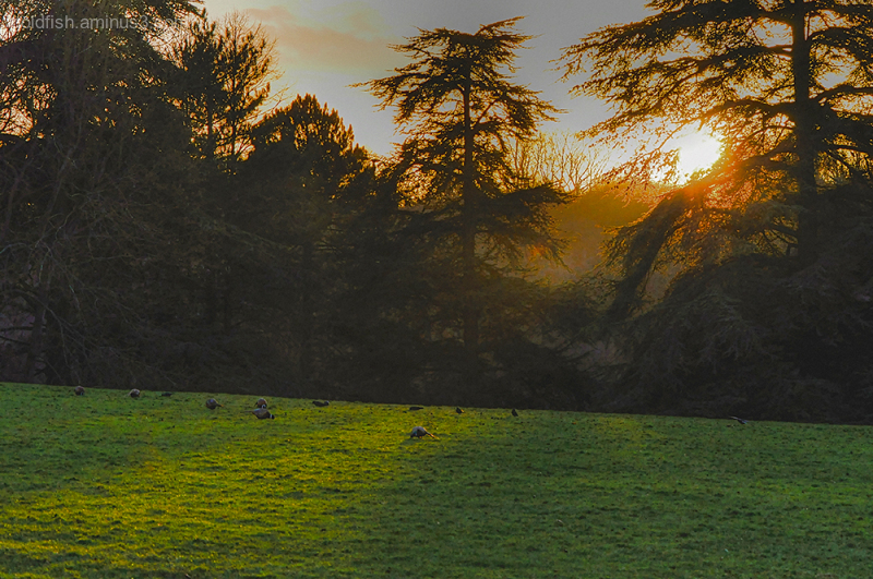 Pheasant Golden Hour