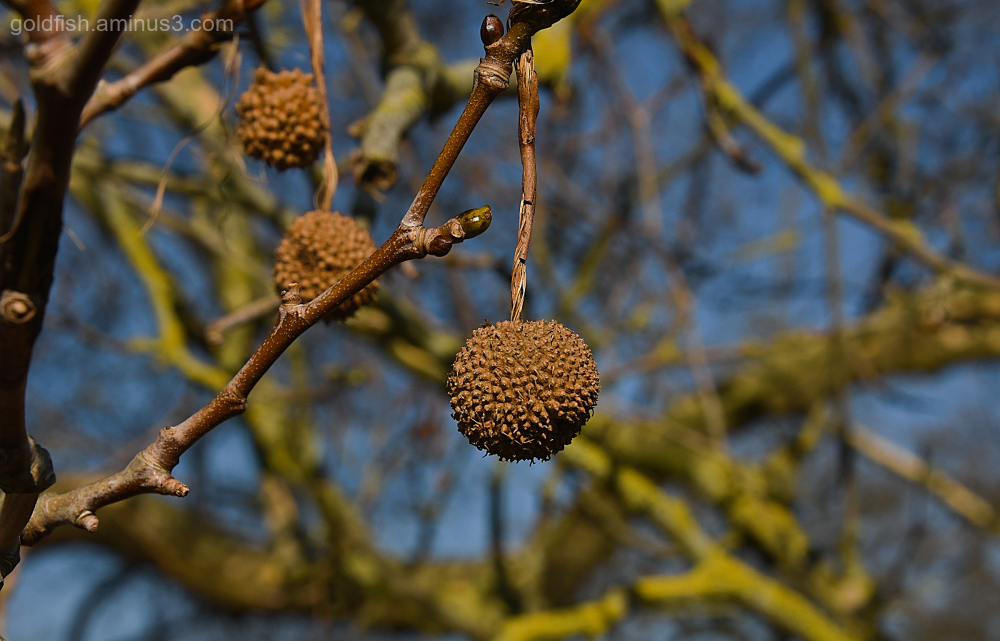 """Bauble"" - Plane Fruit/Seeds"