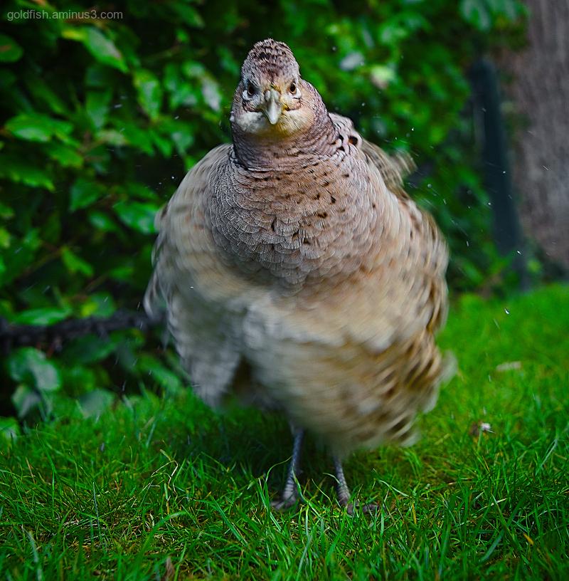 Pheasant III - Shake N