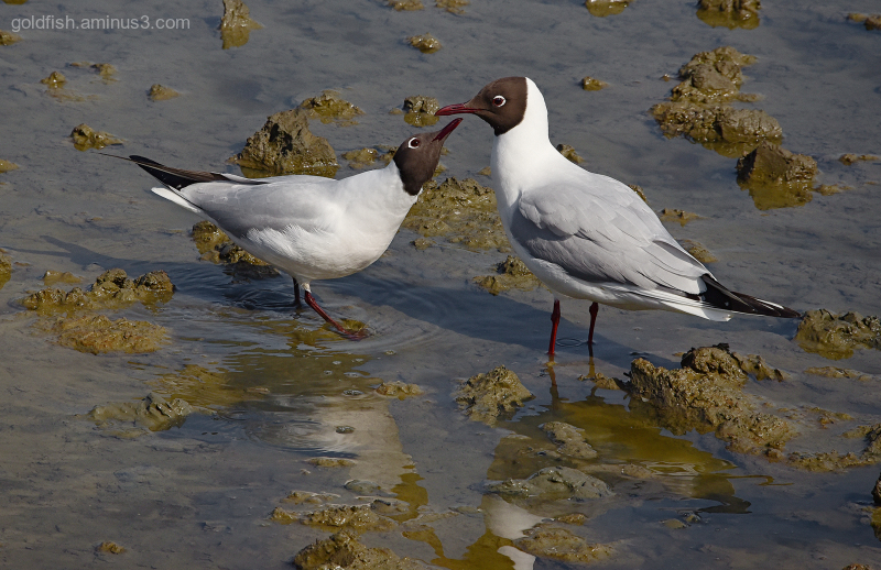 Black Headed Gull - Brownsea Island