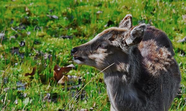 Roe Deer II - Brownsea Island