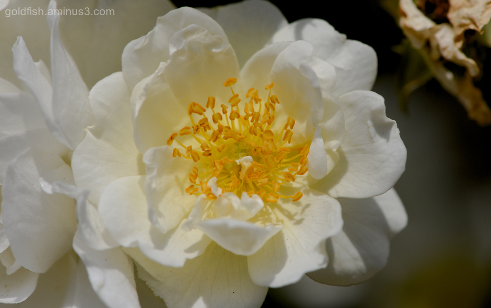Double Dog Rose