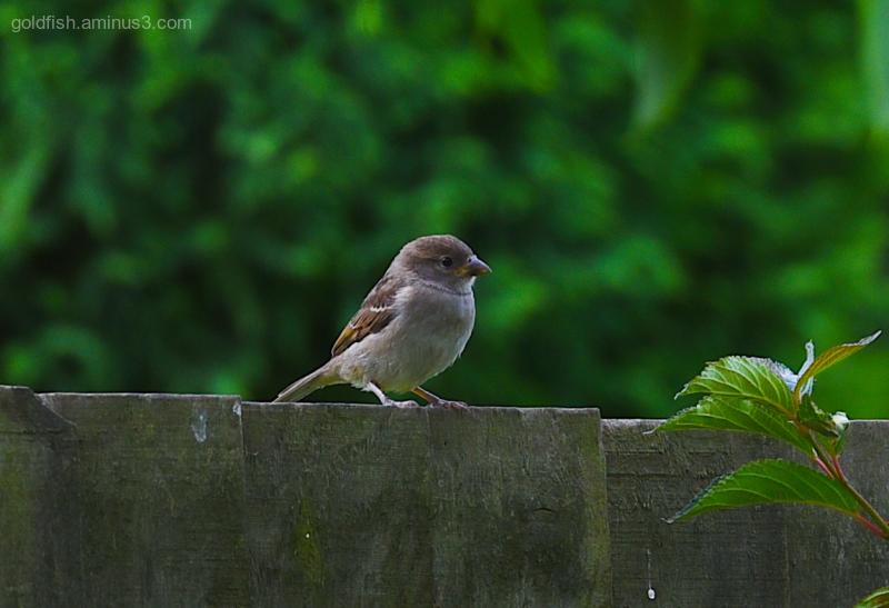 House Sparrow II