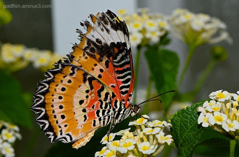 Leopard Lacewing III