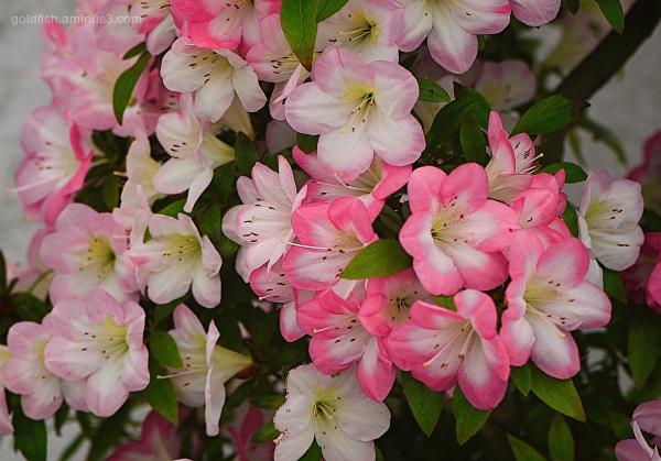 Rhododendron 'Reiko' Satsuki Azalea